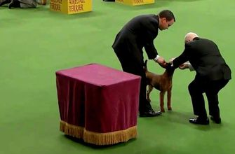 AKC judge: It's not just a dog's qualities that count; it's the performance